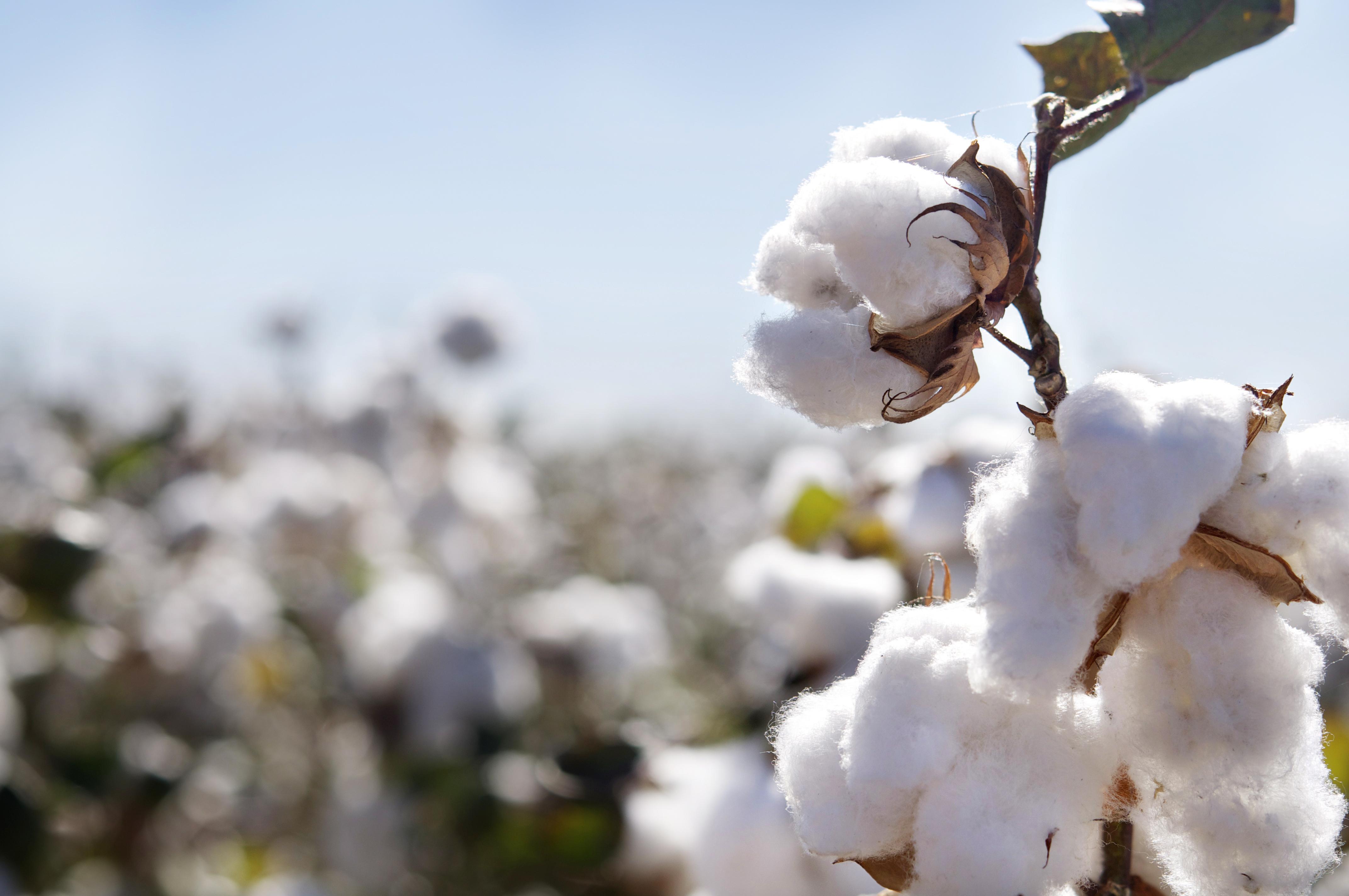 Cotton Calendar 2019